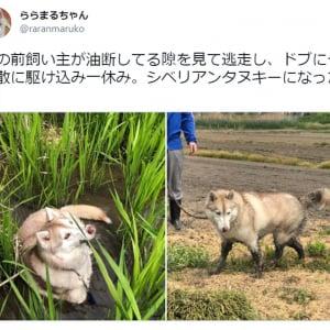 犬なの? タヌキなの!? 「シベリアンタヌキー」のお茶目な写真に11万超いいねの大反響
