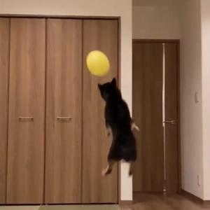 黒い柴犬が風船で遊んだ結果→「すごいジャンプ力と集中力」「イルカですか?」