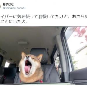 ドライブデート中の彼女かな? 助手席で居眠りしちゃう柴犬が胸キュン必至のかわいさ