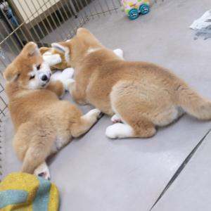 秋田犬の子犬がぬいぐるみで遊んだ結果→「ぬいぐるみさんの大渋滞」「ぬいぐるみが振り返った」