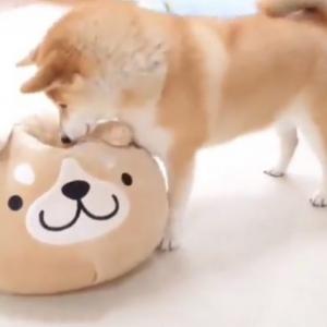柴犬がクッションを検品する動画「勢いよくチェックするところが可愛すぎます」「念入りですね」