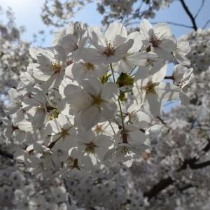 忘れ物や寒さ、虫がいても平気!?お花見で役立つアイテム3選