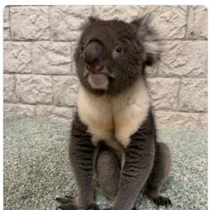 """もふもふのコアラが""""芦雪犬座り""""している姿に「コアラさんもこのすわり方するのですね」の声"""
