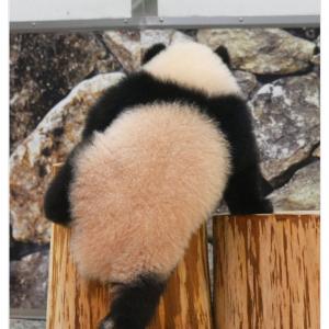 よいしょ…… 丸太にのぼる赤ちゃんパンダの後ろ姿に大反響 「中に幼稚園児入ってる?」