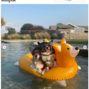 コーギーの形をした犬用の浮き輪でくつろぐコーギー