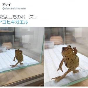 「なんだよ….そのポーズ…」 カエルの立ち姿がTwitterで反響 「ジョジョ立ち?」「鳥獣戯画かな」