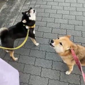 柴犬が遠吠えを伸ばせない動画「あうあうあうあうぅ~!」「かわいい遠吠え」