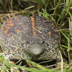 希少な「メキシコジムグリガエル」、このカエル鳴き方のクセが強い!