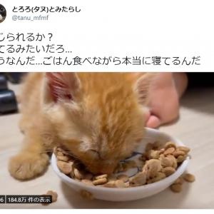 ご飯食べながら寝落ちする子猫の動画に約20万いいねの大反響 「電池切れ」「人間の子どもと同じ」