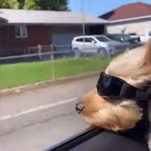 超クール!ゴーグルをつけてドライブを楽しむワンコ