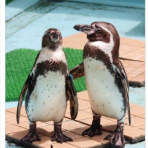 ペンギンのこの動作は何に見える?  「まあ気にすんなよって慰めてるみたい」「なんでやねん」