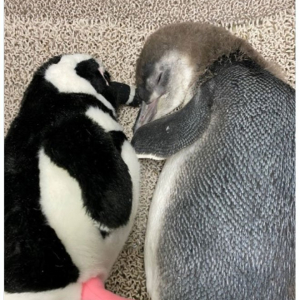 どっちが本物!? ぬいぐるみと添い寝する赤ちゃんペンギンに11万超いいね「幸せそう」「尊すぎる」