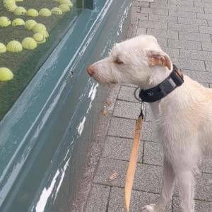 これ全部欲しい・・・テニスボールを使った店先のディスプレイに目が釘付けになってしまったワンコ