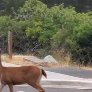 トコトコ駆け足で道路を横断しようとした小鹿ちゃん。車が動く気配がないと分かるや否や・・・