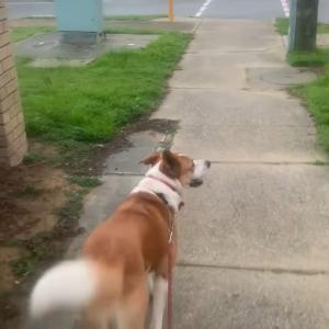 このワンコとっても賢いんです!なんと横断歩道に来たら○○をします!