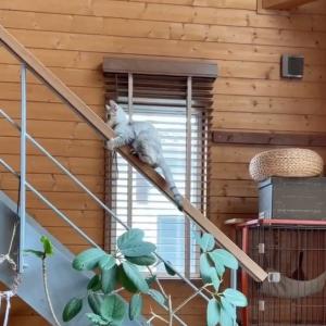 「小学生男子か」「ゴン攻めでヤバいことはわかる」階段を使わず手すりを使って降りる猫の動画がかわいすぎると話題