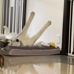 ハスキー犬がベッドを買ってもらった結果→「バンザイするほど気に入ってますね」「キャッホー」