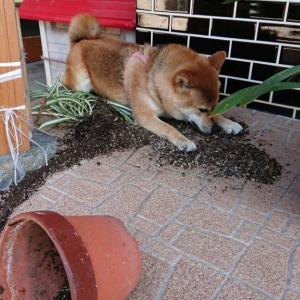 柴犬が植木鉢をひっくり返した結果→「隠せると思ってる」「よしバレてない!」