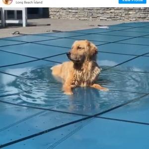 水遊びが大好きすぎるゴールデン・レトリーバー