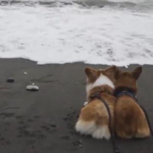 コーギー犬に波の襲来「映画のワンシーンのような雰囲気からコメディ映画のようになってしまった」