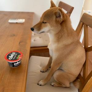 スプーンを取りに行って戻ったら→柴犬がヨーグルトの前で待機「ご主人、スプーンはまだかね?」