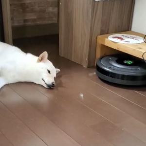 柴犬VSルンバの結末は……? 「綺麗に体に沿って行くんやね」「気にしなさすぎです」