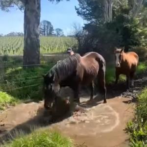 「泥遊び楽しいいい!」飼い主さんにかかるほどの勢いでバッシャバッシャと水たまりではしゃぐ馬
