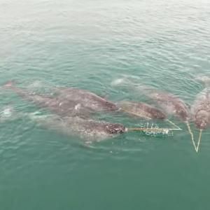 これはスゴい!北極海を泳ぐイッカクの群れをカメラは捉えました!!