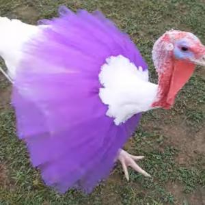 七面鳥ってなんだかバレエダンサーに似ているなぁと思ったのでつい・・・。七面鳥にチュチュを着せてみた姿がこちら
