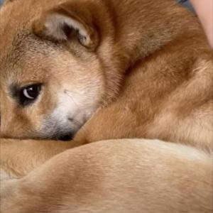 背中を掻いてもらうとつい笑みを浮かべてしまうかわいい柴犬。ところがその手をはなすと・・・