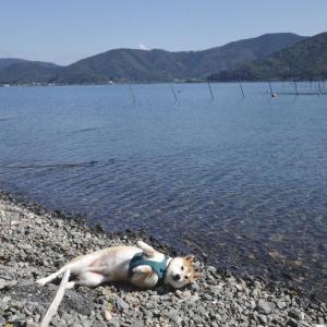 柴犬が琵琶湖にうち上げられたみたい! 「シバザラシという新種ですか」「アザラシバですね」