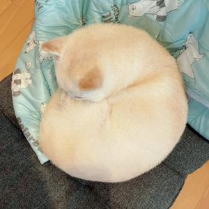 柴犬の鼻が寒かった結果→「満月可愛いてすね~」「ワンモナイト」