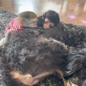 仲良くお昼寝しているちっちゃなクモザルとサバンナモンキーのこどもとバーンドゥードル。その姿はまるでぬいぐるみみたい!