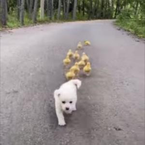 白い毛をした子犬をテクテクと追いかけるアヒルのヒナたち。自由な子犬と一生懸命なアヒルのヒナたちが、どちらもかわいい!!