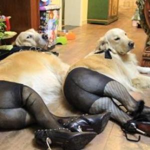 犬にパンストを履かせてセクシーにさせた『パンスト犬』が中国で大流行 予想以上にセクシー
