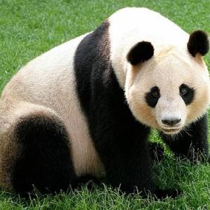 パンダに大人向けビデオを見せて繁殖させる! そんなビデオが実際にある?