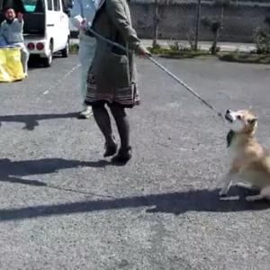 犬を散歩に連れて行く → 「予防接種でしたー」の動画の反応が面白い