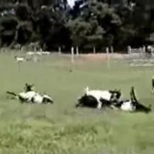 山羊の群れにむかって傘を開くと1匹が倒れる? そんな山羊の残酷過ぎるな習性