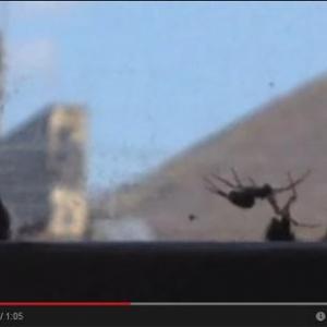 【動画】マルハナバチには仲間を思いやる心があった? クモの巣にかかった仲間を救出する動画が話題
