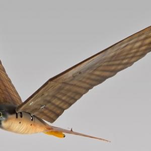 未来の空港や農地で活躍する? ハヤブサそっくりな羽ばたき型ロボット『Robird』