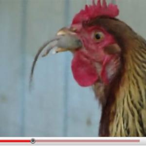 ニワトリがネズミを食べる衝撃動画! ツンツンしてから丸飲みしちゃう