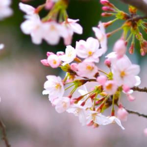 【アンケート】お花見で飲む定番の飲み物は? やっぱり欠かせないのはあのドリンク