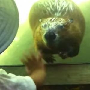 【動物動画】子供に手を振るビーバー