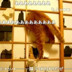 これはヒドイ(笑)! 障子をボロボロにして遊ぶ猫